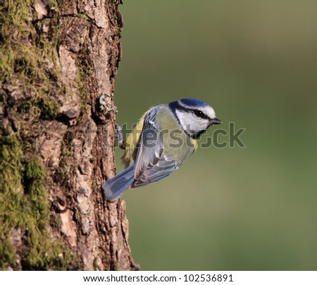 Blue tit on a lovely tree