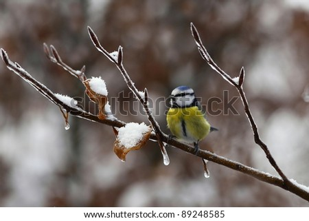 Blue tit on a snowy branch, with icicles