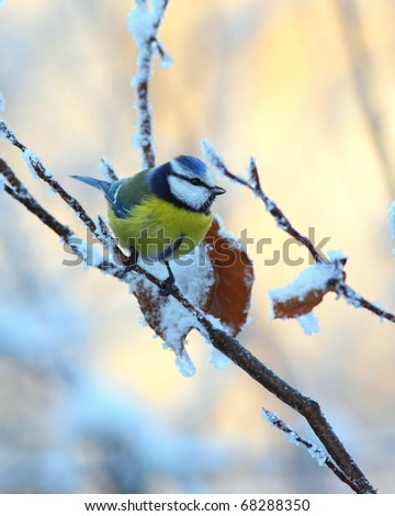Blue tit on a snowy, icy branch 1.