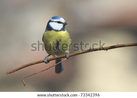 Blue tit on branch front the beautiful background