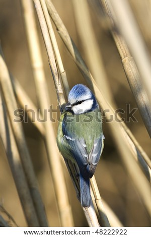 blue tit on reed in winter (Parus caeruleus)