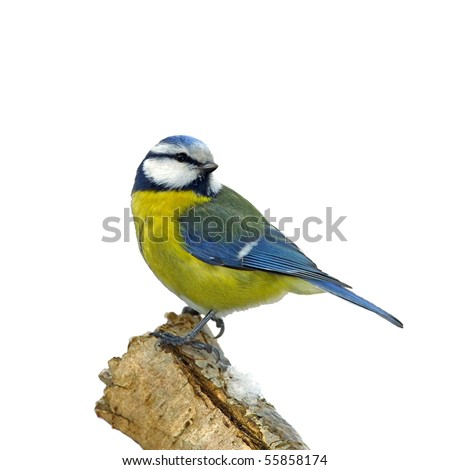 Blue tit on snowy branch, isolated