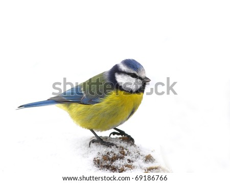 Blue tit (Parus caeruleus) face to face,  stand in snow, isolated
