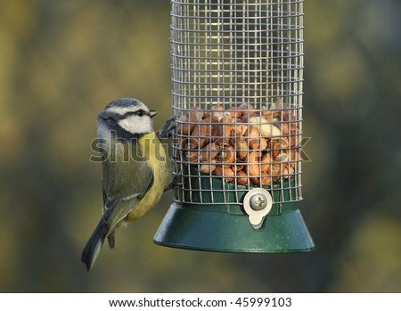 Blue Tit - Parus caeruleus on peanut feeder
