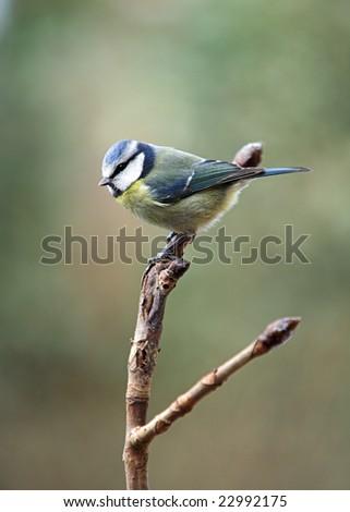Blue Tit - Parus caeruleus perched on a Horse Chestnut branch