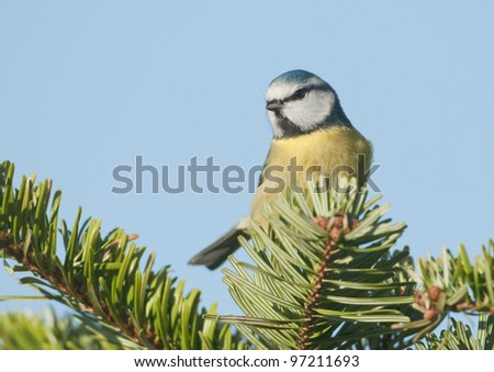 Blue Tit (Parus caeruleus) perched on conifer