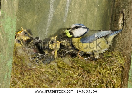 Blue tit, Parus caeruleus, single adult inside nest box with young, Midlands, May 2011 #143883364