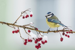 Blue tit, Parus caeruleus, single bird on red berries