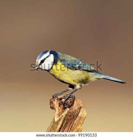 Blue tit perched on a broken tree stump