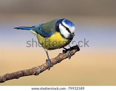 Blue tit perched on a stick