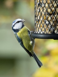 Blue tit sitting on a bird feeder with peanuts having open beak