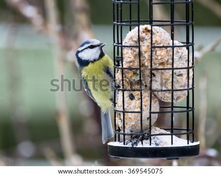 Blue tit sitting on bird feeder with fat balls