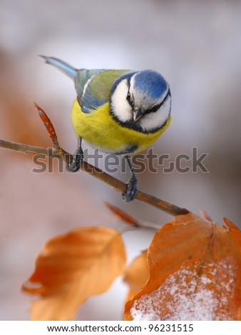 Blue tit with red leafs