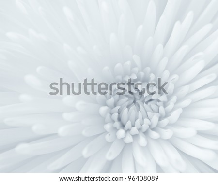 Blue-toned black and white close-up of chrysanthemum - stock photo