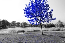 Blue tree and empty park bench in a black and white landscape scene by a pond