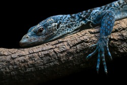 Blue tree monitor close up portrait isolated on black background. Threatened reptile species Varanus macraei. Beautiful blue colored lizard lying on the tree branch.
