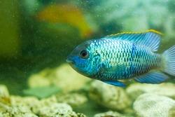blue tropical fish in aquarium, exotic fish in aquarium