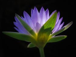 Blue tropical water lily flower backlit on black background