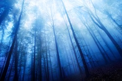 Blue twilight mood in a beech forest with bare tall trees and dense fog