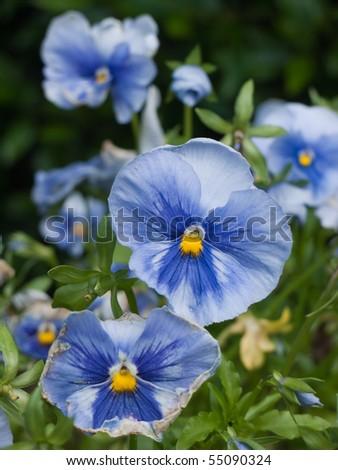 Blue Viola in a field