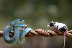 Blue Viper Snake as top predator ready to strike his prey  mouse