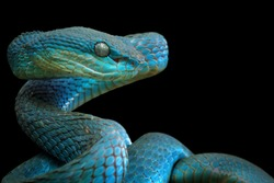 Blue viper snake closeup face from side view, viper snake, blue insularis on black background, Trimeresurus Insularis, animal closeup