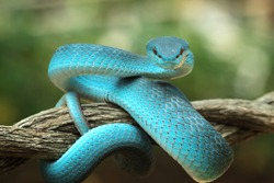 Blue viper snake closeup face, head of viper snake, Blue insularis, Trimeresurus Insularis, animal closeup