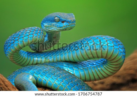 Blue viper snake closeup face, head of viper snake, Blue insularis, Trimeresurus Insularis, animal closeup stock photo
