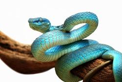 Blue viper snake closeup face, viper snake, blue insularis, Trimeresurus Insularis, animal closeup, viper snake with white background