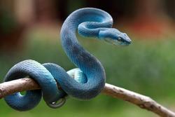 Blue viper snake on branch, viper snake, blue insularis