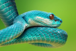 Blue viper snake on branch, viper snake, blue insularis, Trimeresurus Insularis