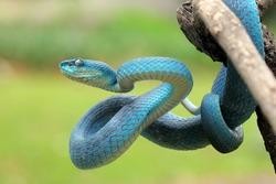 Blue viper snake on branch, viper snake closeup
