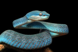 Blue viper snake on branch, viper snake ready to attack, blue insularis, animal closeup with black background