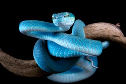 Blue viper snake on branch with black background, viper snake ready to attack, blue insularis snake, animal closeup