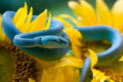 Blue viper snake on sunflower, viper snake ready to attack, blue insularis, animal closeup