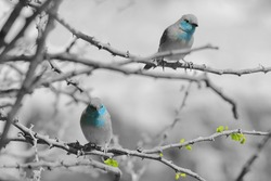 Blue Waxbill - African Wild Bird Background - Innocent Beauty in Color (Selective Coloring on Black and White)