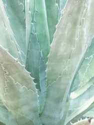 Blue weber agave texture detail for tequila, blue agave background