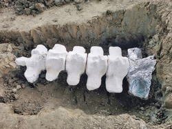 Blue Whale Bone Piece Unearthed in Samut Sakhon, Thailand