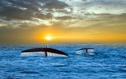 blue Whale Watching tail splash drop fall water Mirissa wildlife Sri Lanka. beautiful panorama landscape sun sunrise. sun rays shine indian ocean. panoramic view humpback whale family marine life