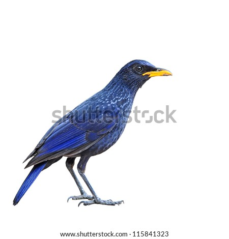 Blue Whistling Thrush Bird on white background