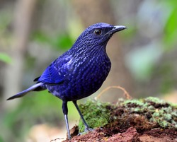 Blue-whistling Thrush (monticola solitarius), a dark blue bird standing on the log