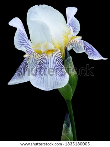 Blue-white flower on a green stem with buds. Isolated on  black  background with clipping path. Close-up. For design. Photo stock ©