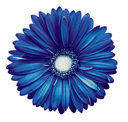 Blue-white gerbera flower, white isolated background with clipping path.   Closeup.  no shadows.  For design.  Nature.