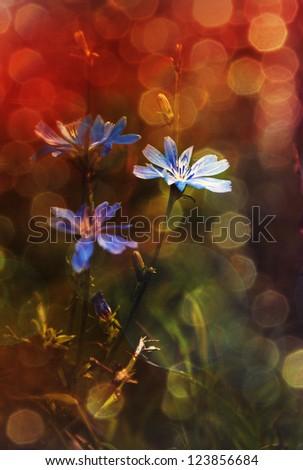 Blue wild flowers in sunset