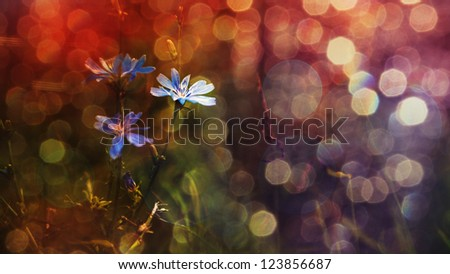 Blue wild flowers in sunset - stock photo