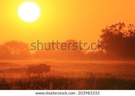 Blue Wildebeest - African Wildlife Background - Sunset Shadows of Gold #203983333