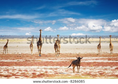 Blue wildebeest and giraffes in african savanna, Etosha N.P., Namibia