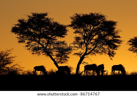 Blue wildebeest (Connochaetes taurinus) and an African Acacia tree silhouetted against a red African sunset