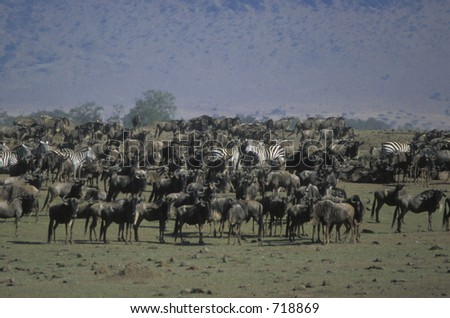 Blue wildebeest (Connochaetes taurinus) and Burchell's zebra (Equus burchellii) - massing near river - Maasai Mara, Kenya