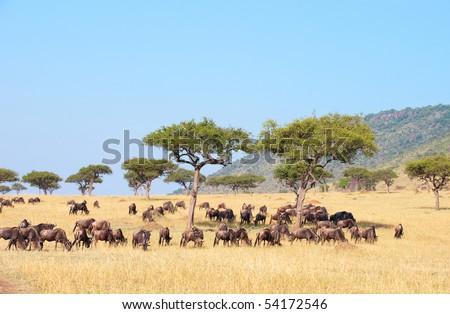 Blue wildebeest (Connochaetes taurinus) feeding in savannah in South Africa - stock photo